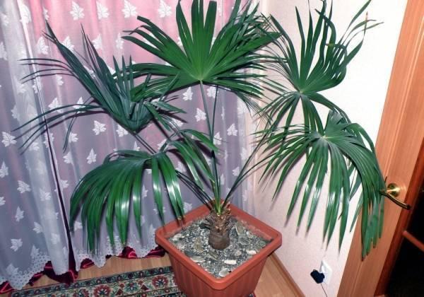 Распространенные виды пальм: подробное описание, название и фото