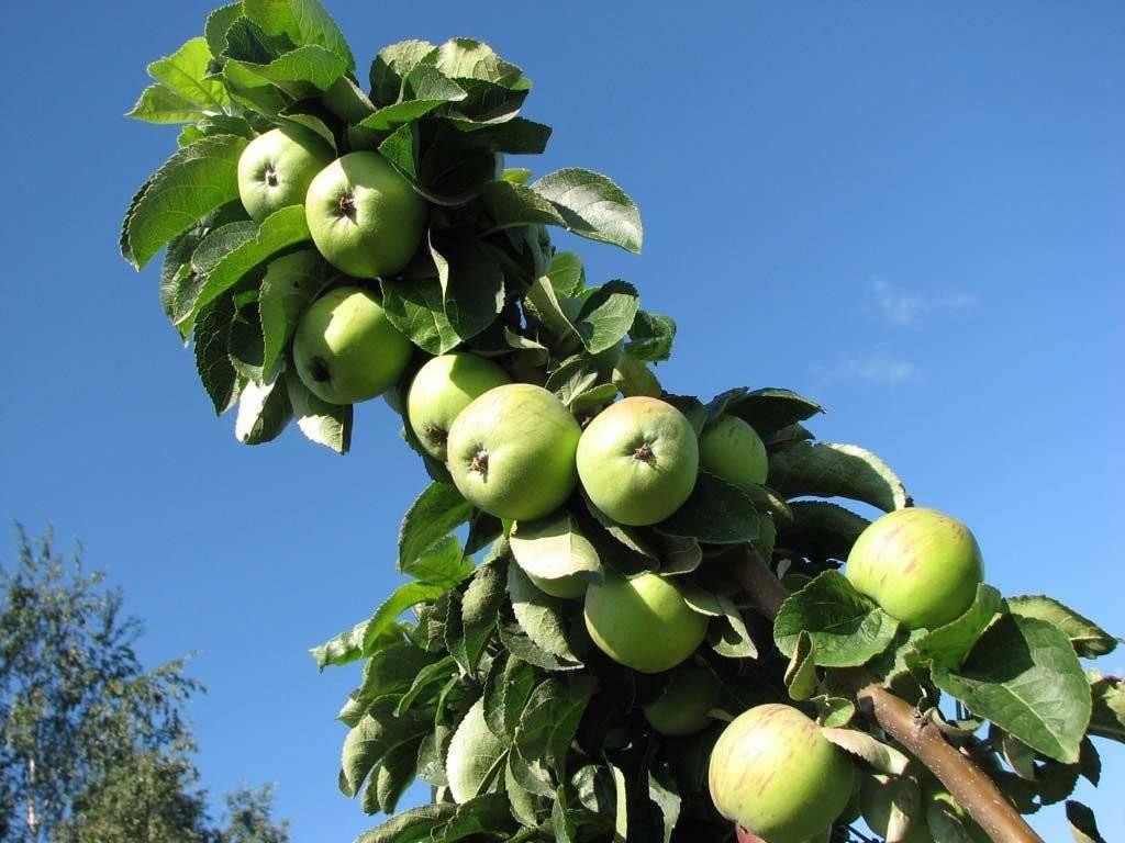 Как правильно обрезать колоновидную яблоню