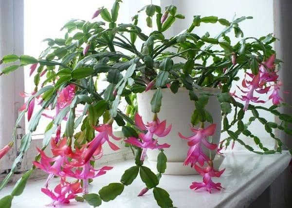 Декабрист (61 фото): уход за цветком в домашних условиях, особенности цветения комнатной шлюмбергеры. почему оно называется рождественником?