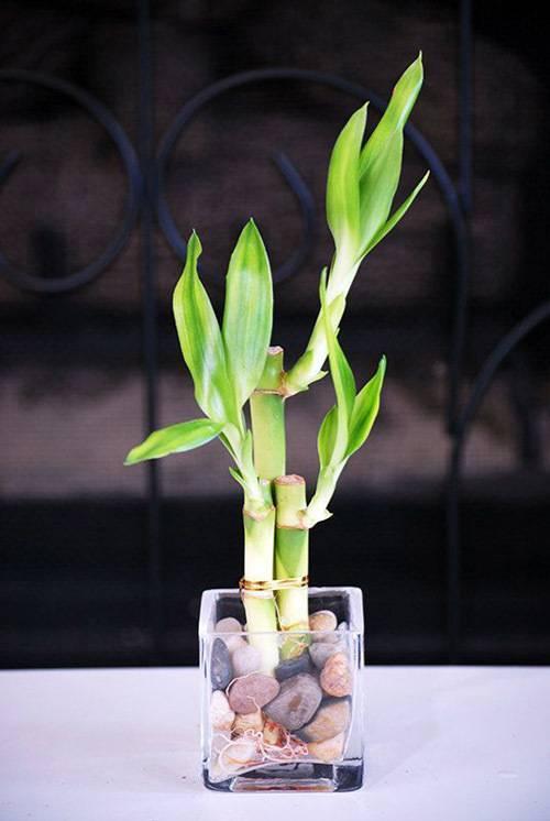 Бамбук в домашних условиях — посадка, выращивание и уход за комнатным бамбуком - огород, сад, балкон - медиаплатформа миртесен