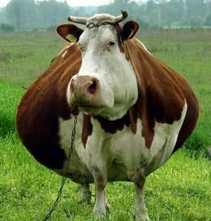 Все об отеле коровы