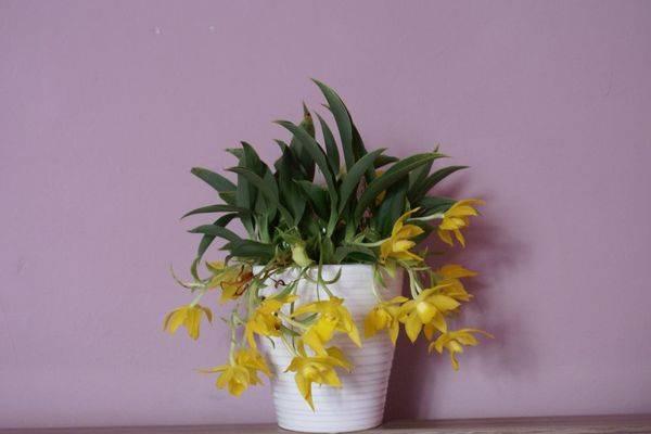 Орхидея плейоне: уход и выращивание в домашних условиях и в саду. советы для начинающих цветоводов