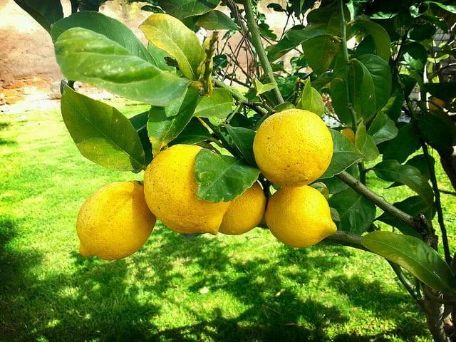 Срок хранения лимонов