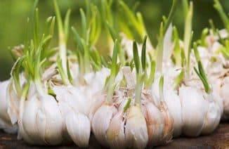 Подкормка чеснока весной в советах опытных агрономов