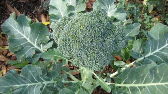 Выращивание брокколи в открытом грунте, секреты агротехники