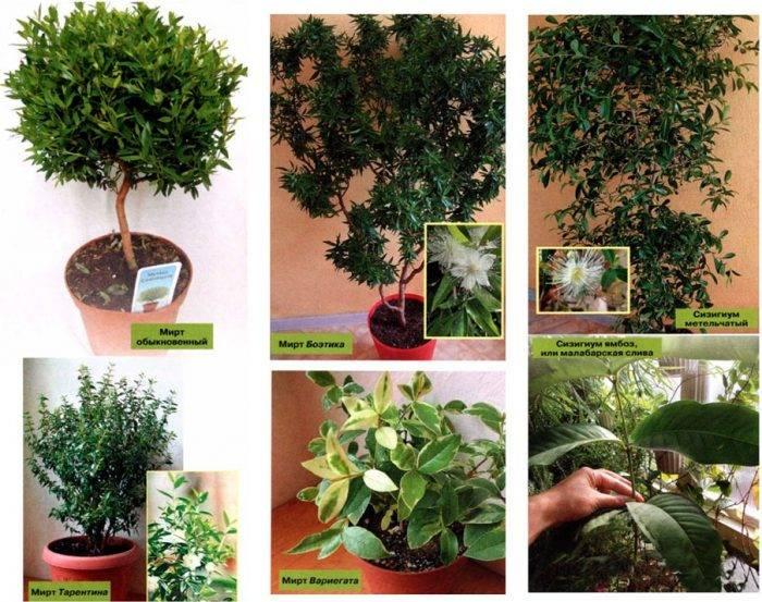 Миртовое дерево (мирт) - уход в домашних условиях