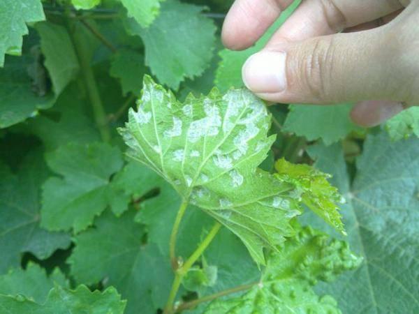 Виноградный клещ и методы борьбы с ним - болезни и вредители | описание, советы, отзывы, фото и видео