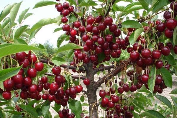 Вишня чудо-вишня: характеристика и описание сорта, выращивание и уход