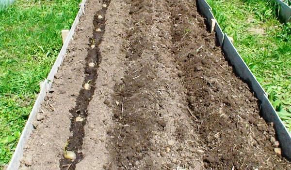 Расстояние между рядами картошки при посадке: на каком расстоянии сажать