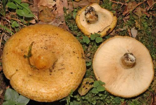 Желчный гриб: +22 фото и описание, как отличить от белого, съедобный или нет?