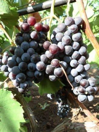 ᐉ дубовский красный - гибридная форма винограда - roza-zanoza.ru