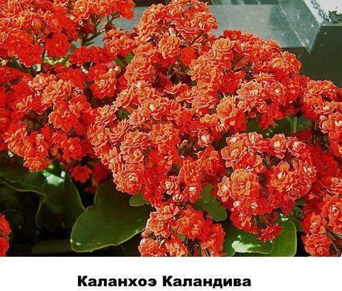 Как выглядит каланхоэ: фото, описание видов, уход и выращивание в домашних условиях