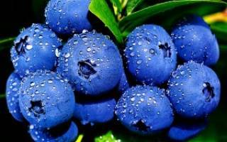 Голубика садовая: от посадки до сбора ягод