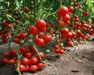 Подкормка помидоров при выращивании в открытом грунте и теплице