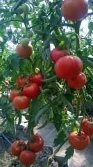 Томат дебют f1: описание раннего низкорослого сорта и отзывы огородников о выращивании, вкусовые качества, урожайность