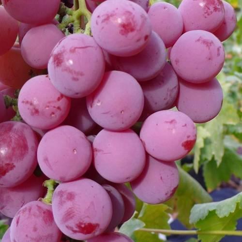 Описание сорта и особенности выращивания винограда «минский розовый» - о цветах