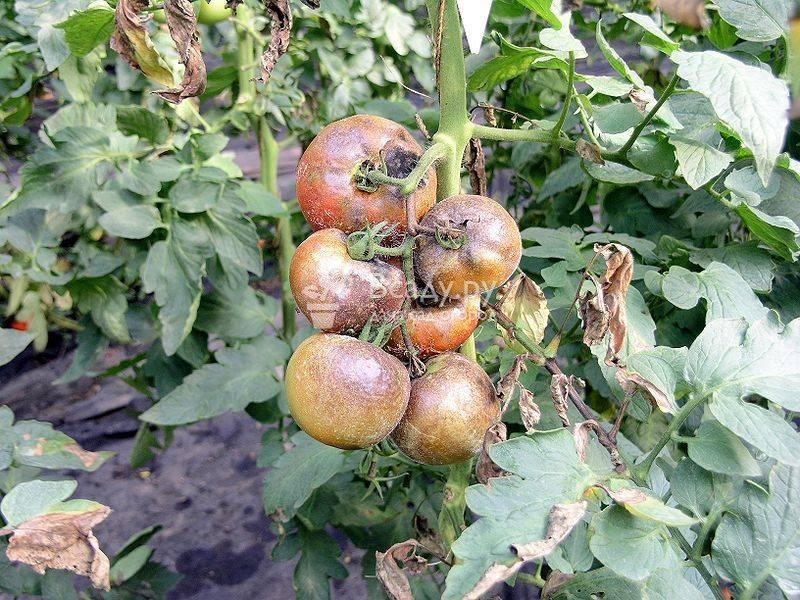 Болезни рассады томатов, их лечение и меры профилактики