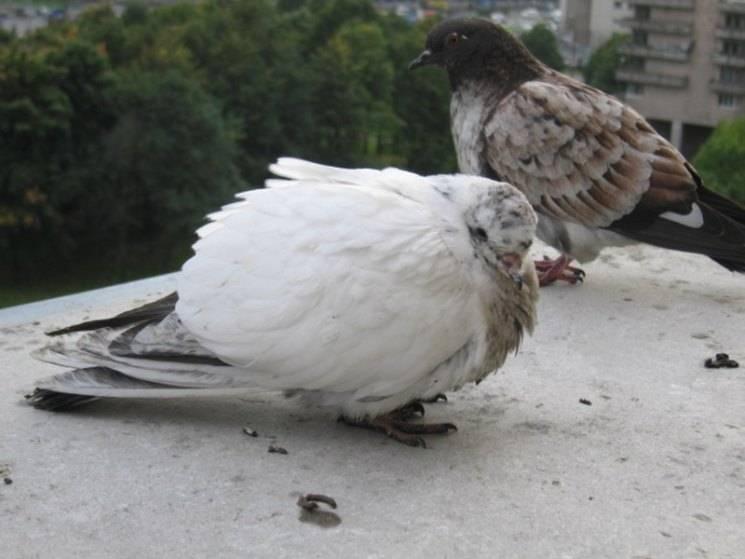 Что такое вертячка у голубей
