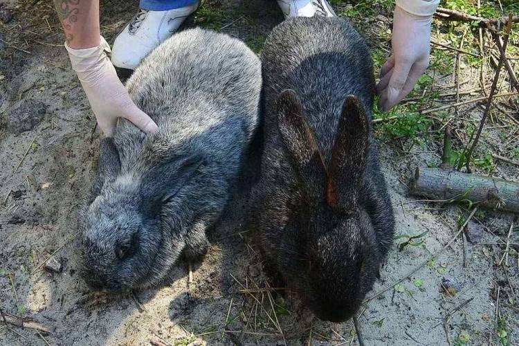 Все о разведении кроликов породы «полтавское серебро»