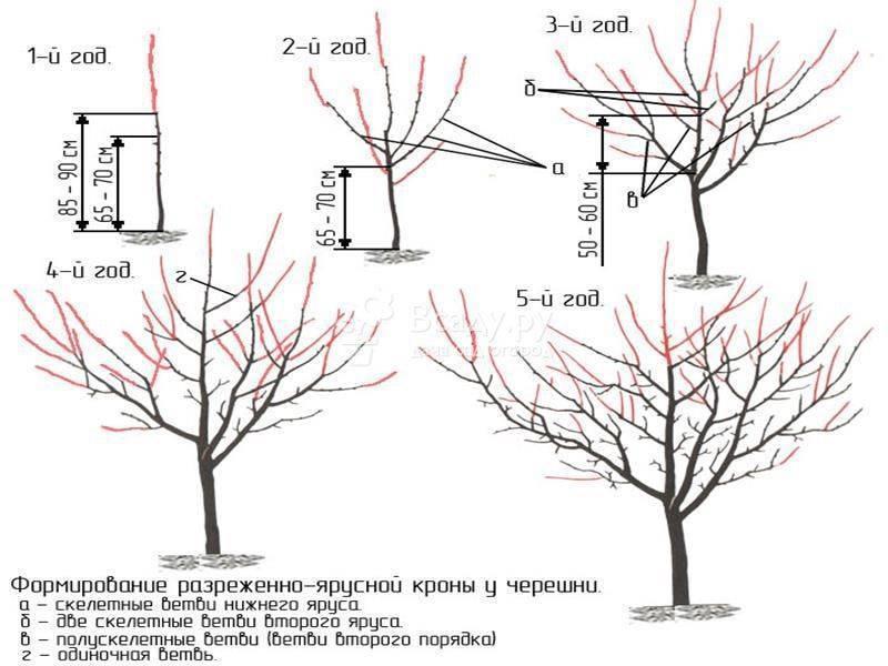 Обрезка черешни - методы повышения урожайности дерева, схемы и описание обрезки для начинающих