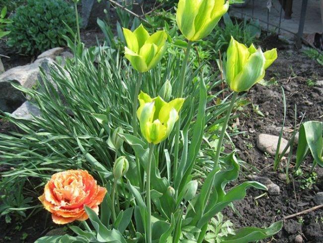 Почему не цветут тюльпаны? почему не цветут тюльпаны: что делать, если у цветка одни листья почему тюльпаны не набирают цвет.