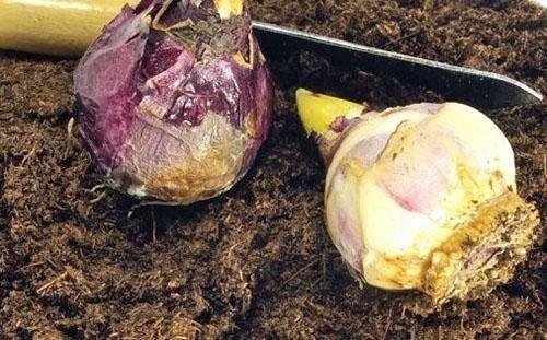 Гиацинт отцвел: что делать дальше в домашних условиях после цветения selo.guru — интернет портал о сельском хозяйстве