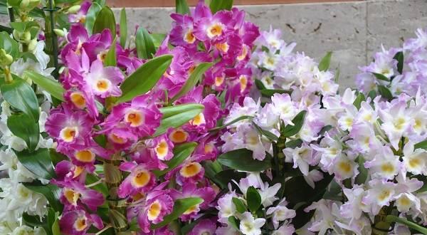 Орхидея дендробиум нобиле (dendrobium nobile)