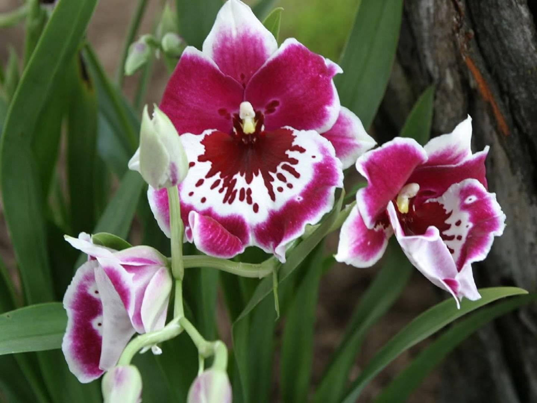 Орхидея мильтония: уход в домашних условиях, разновидности, размножение
