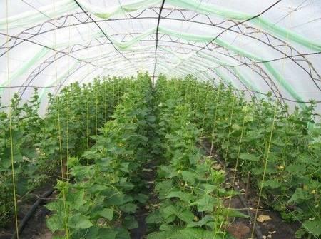 Выращивание огурцов в теплице: все, что нужно знать для хорошего урожая