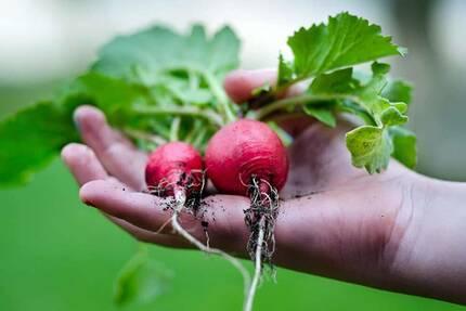 Выращивание редиса в теплице видео   вырасти сад!