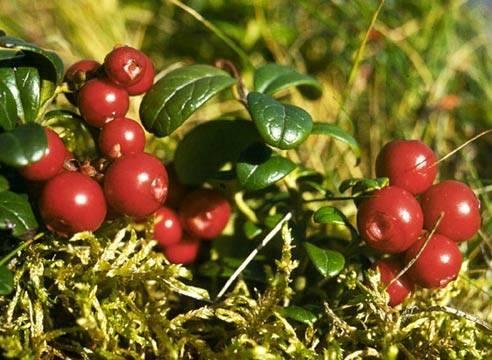 Брусника посадка и уход в открытом грунте полезные свойства