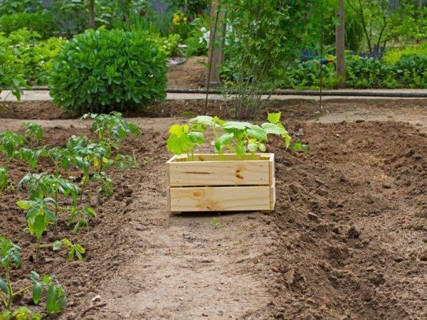 Смешанные посадки: что посадить на одной грядке с томатами в теплице