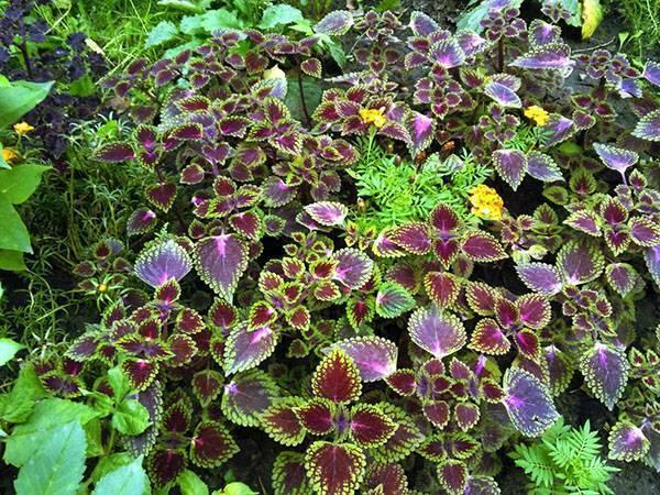 Колеус — оригинальное украшение моего сада