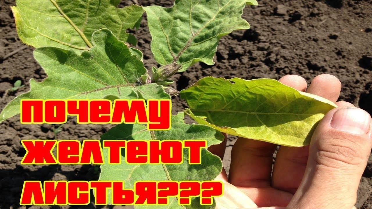 Рассада баклажанов желтеет и сбрасывает листья: причины и лечение