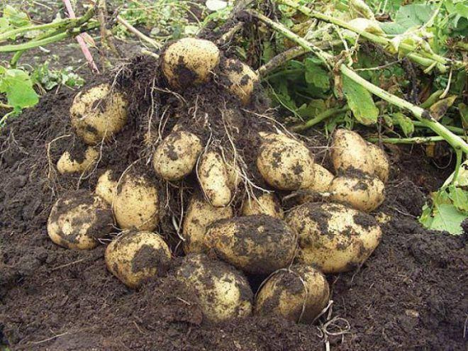ᐉ внекорневая подкормка картофеля после всходов и при цветении - roza-zanoza.ru