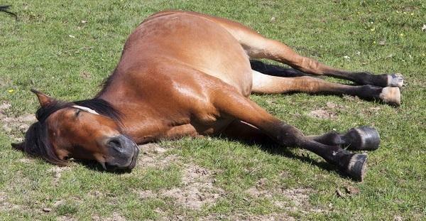 Как спят лошади: стоя или лежа