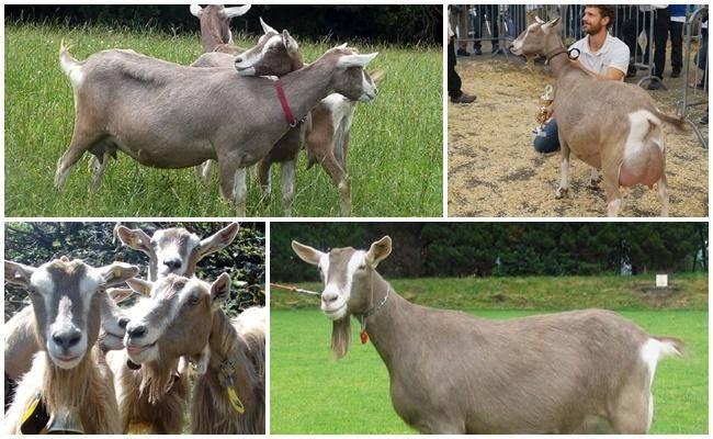 Тоггенбургская коза: описание породы, условия содержания и характеристики
