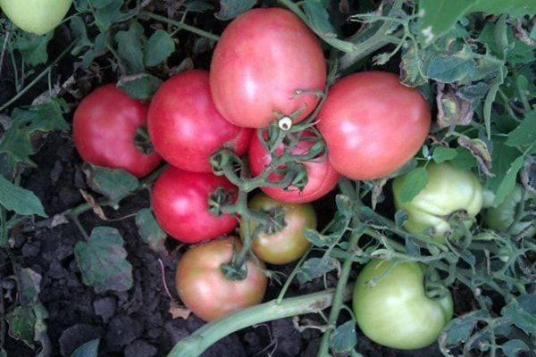 Томат видимо-невидимо характеристика и описание сорта, урожайность, фото и отзывы