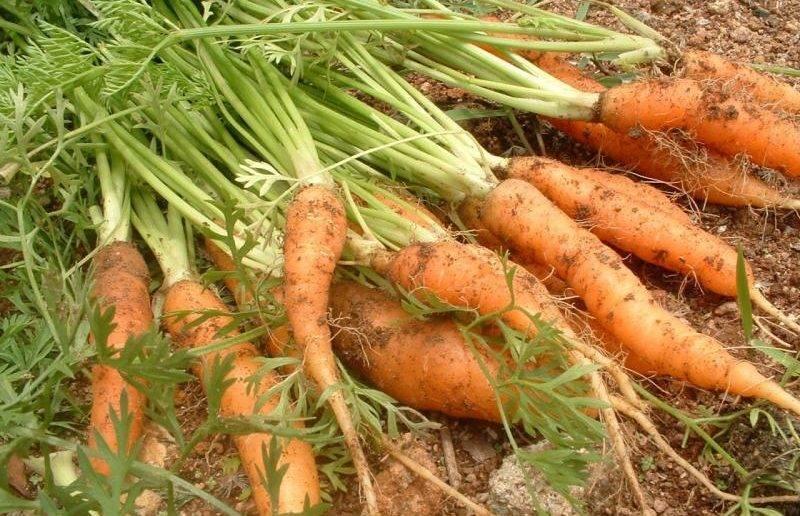 Что сажать после моркови на следующий год и после каких культур ее можно садить
