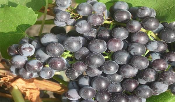 Сорт винограда бело розовый: разнообразие видов