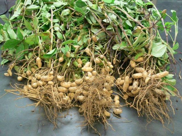 Арахис или земляной орех: выращивание в средней полосе России