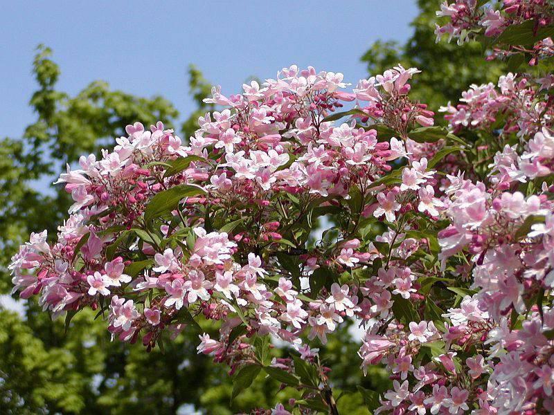 Кольквиция: посадка и уход в открытом грунте, выращивание в саду