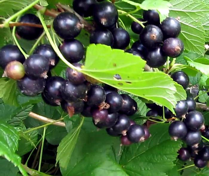 Смородина черный жемчуг: описание сорта, отзывы