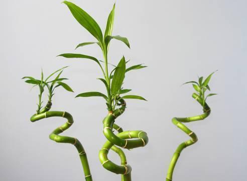 Драцена, выращивание и уход в домашних условиях - фото