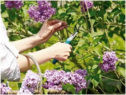 Почему не цветет сирень — возможные причины и советы что делать. полезная информация для начинающих садоводов (70 фото)