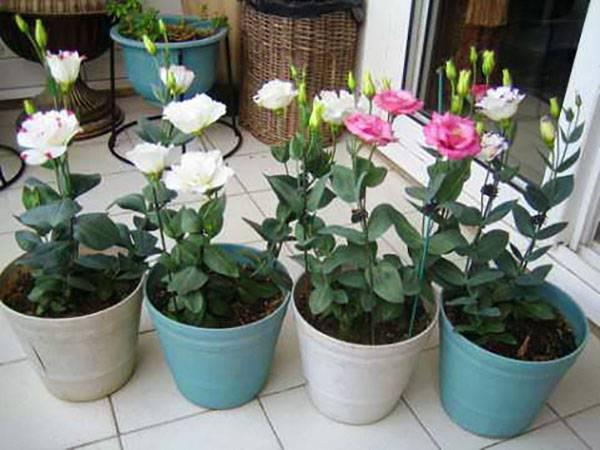 Выращивание циннии из семян: как и когда сажать на рассаду