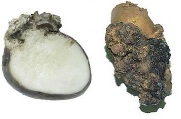 Рак картофеля: что это, симптоматика и методы борьбы, профилактика, есть ли опасность для человека, фото