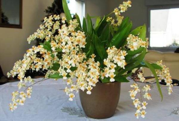 Орхидеия онцидиум, твинкл, желтый и другие виды семейства: варианты ухода