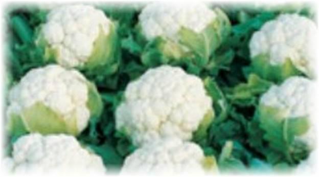 Цветная капуста — лучшие сорта для открытого грунта, выращивание и уход