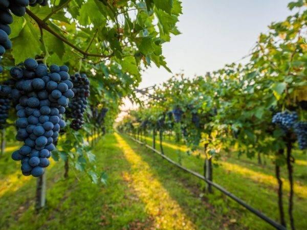 Виноделие в средние века